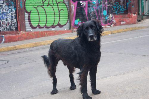 Chile - street dog 1