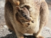 Granite Gorge Wallaby & Joey