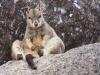 Granite Gorge Wallaby