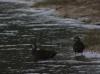Lake Tinaroo Ducks
